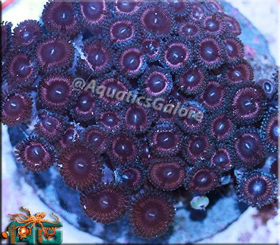 Pink Zoanthids